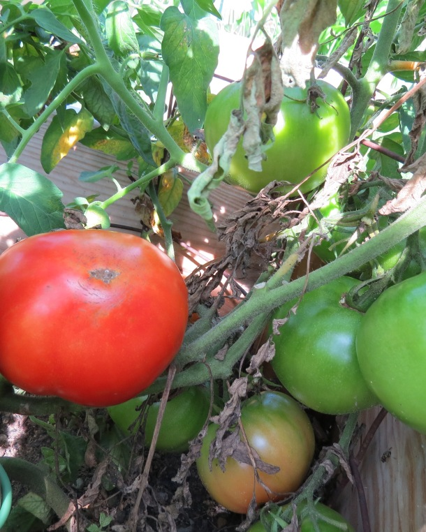 Celebrity Tomatoes on the Vine