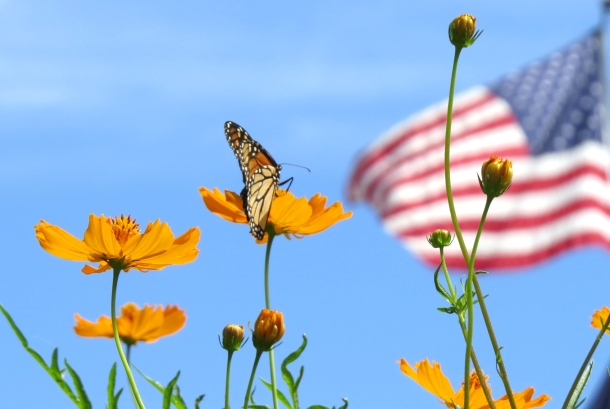 coreopsis and flag