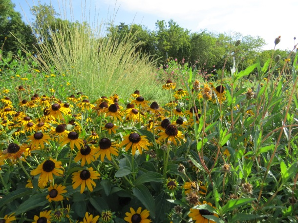 Black Eyed Susan 'Goldstrum' with Little Bluestem in the Background