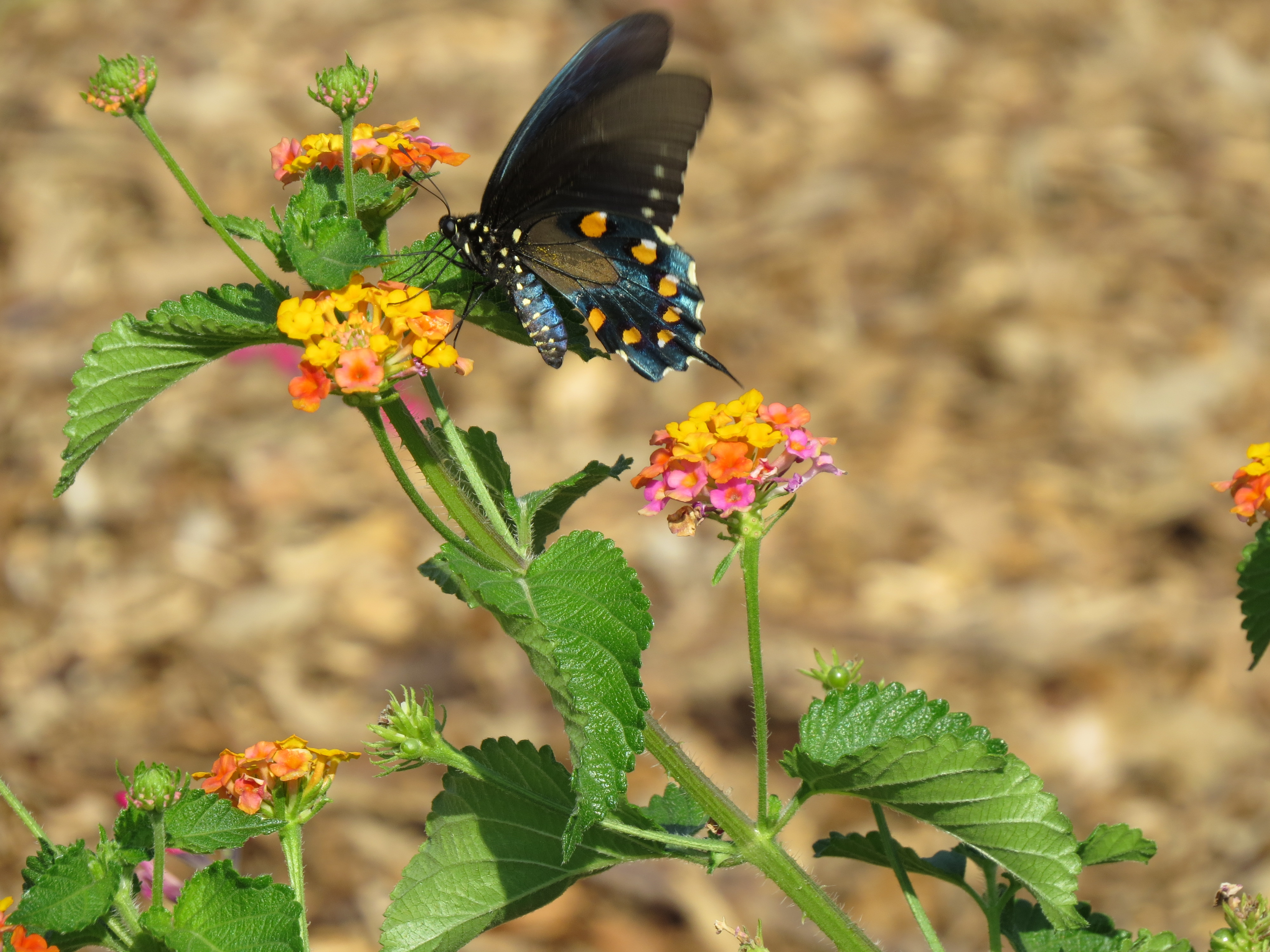 Pipevine Swallowtail On Lantana U0027Miss Huffu0027
