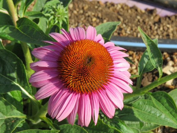 Purple Coneflower 'Bravado'