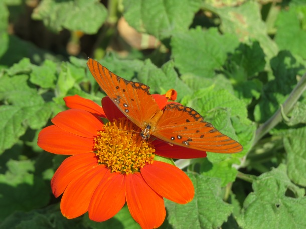 Gulf Fritillary on Mexican Sunflower 'Torch'