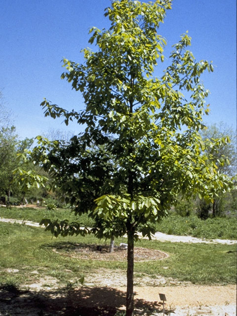 Mexican White Oak or Monterrey Oak