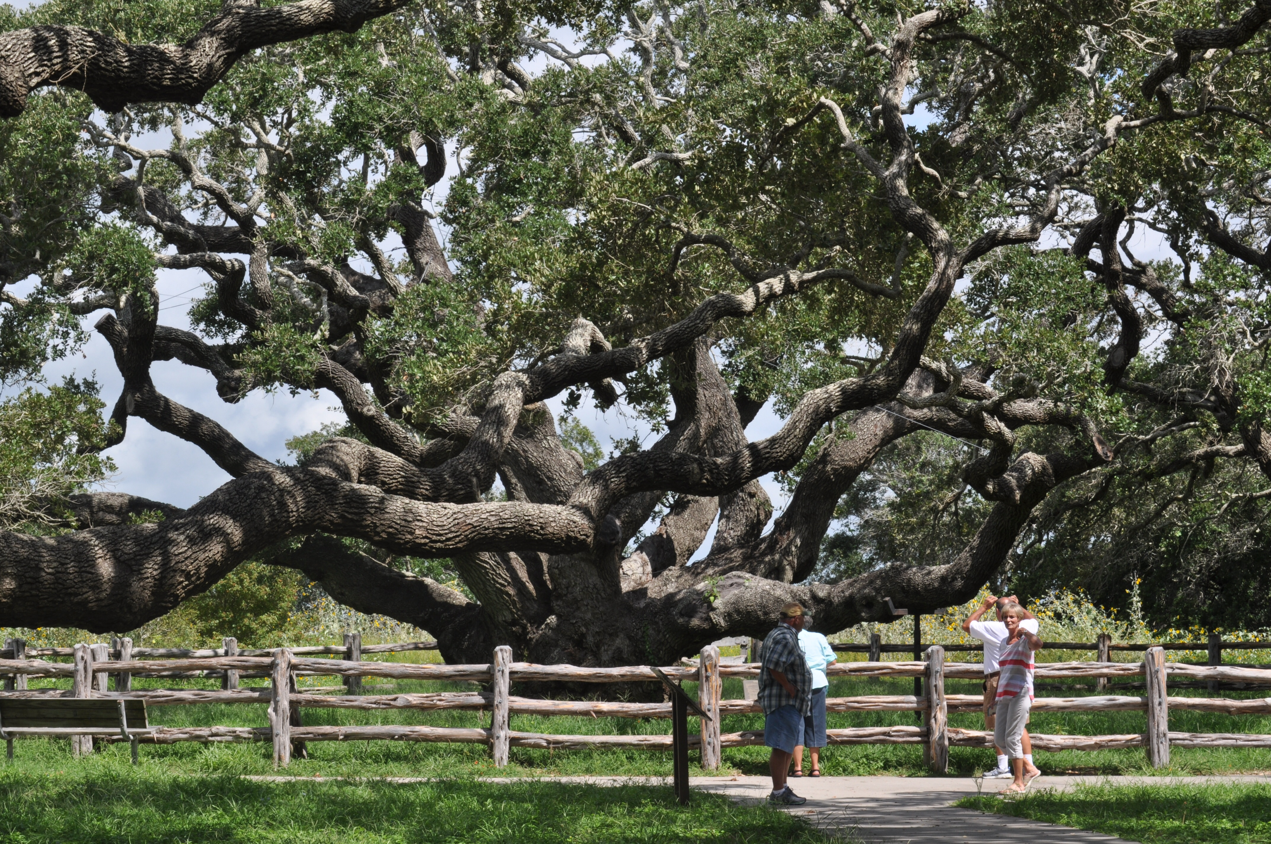 The Big Tree at Goose Island State Park