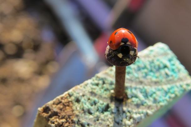 Starla's Serendipitous Ladybug Picture