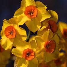 Daffodil Falconet