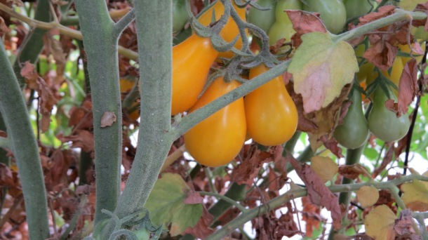 "Tomato"" Yellow Pear"" an indeterminate variety"