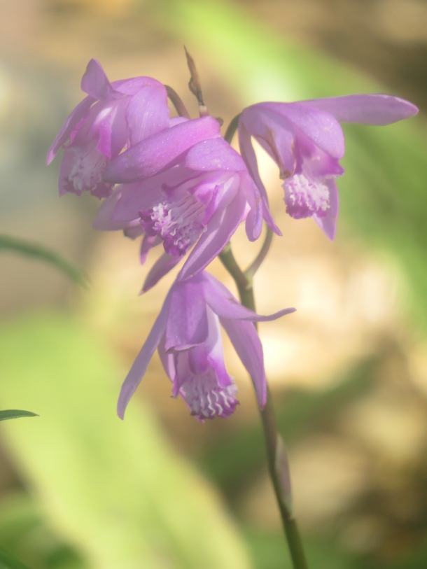 Ground Orchid, Bletilla striata Blooming in our Courtyard