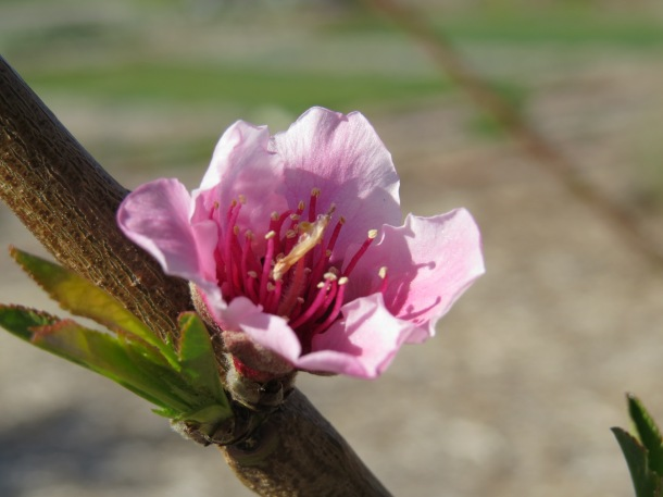 Peach Tree Bloom