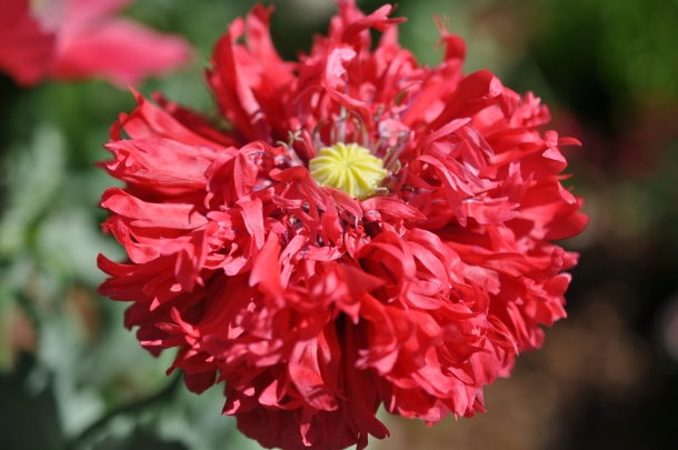 Poppy close up 2016 008