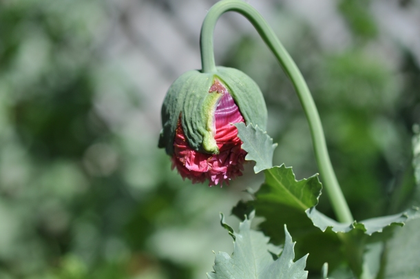 Poppy Bud Ready to Open