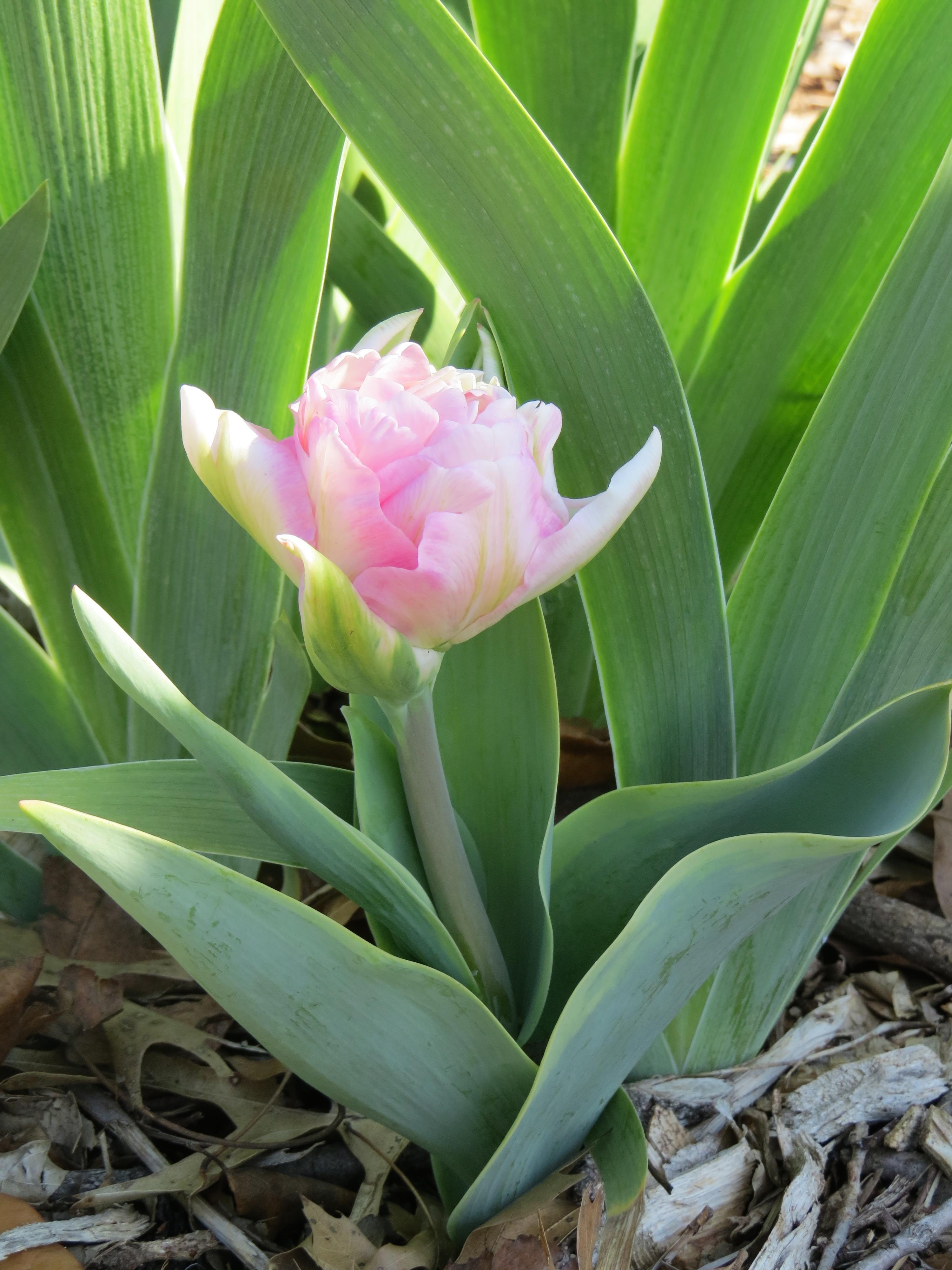 'Annelinde' peony-type tulip