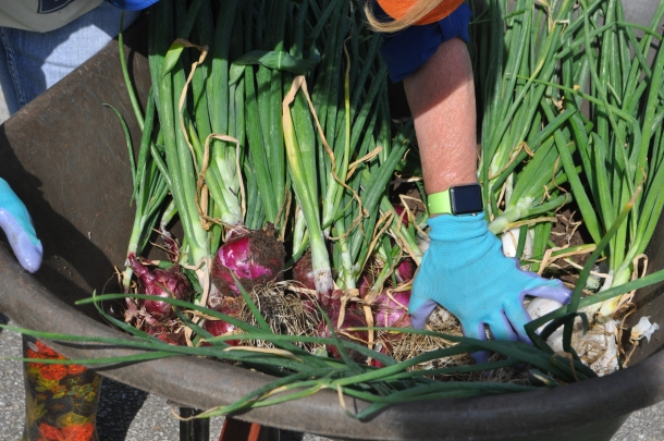 Fantastic Haul of Onions!