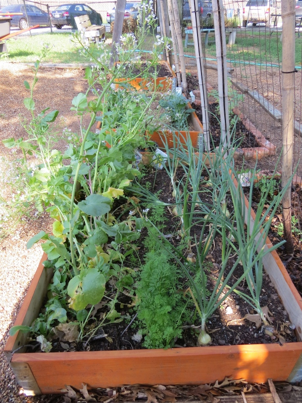 Row Planting- We Might Rethink and Plant Differently Next Time.