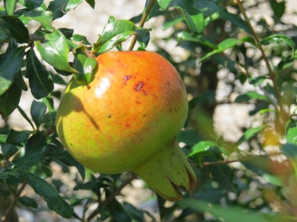 Pomegranates Ripening!