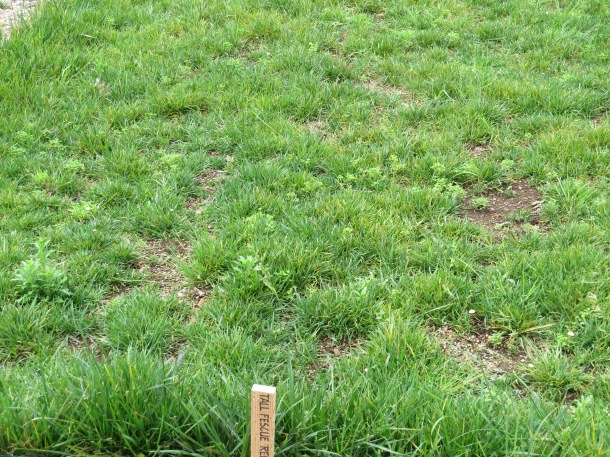 Above: Tall Fescue,