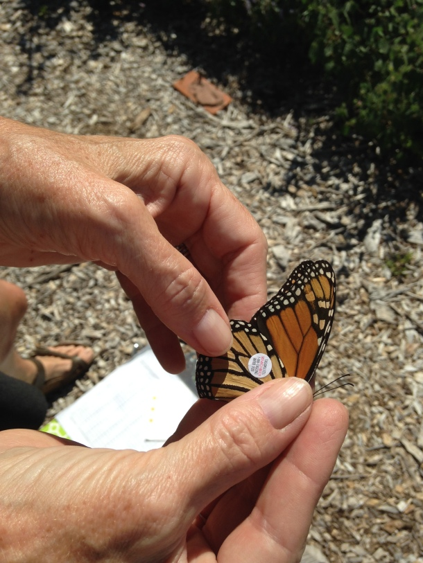 monarch-tagging