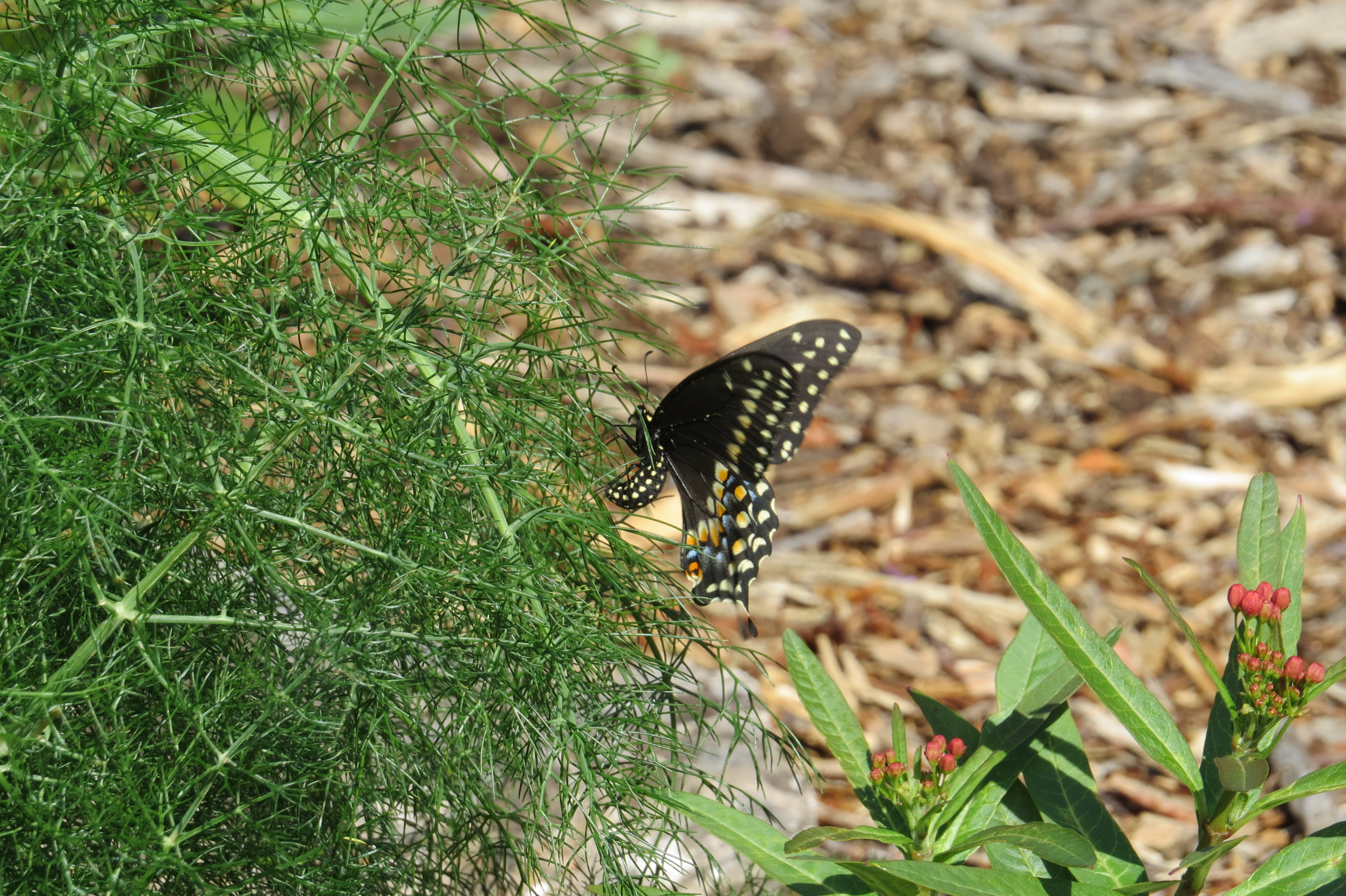 Tag Archives: Butterfly Host Plant