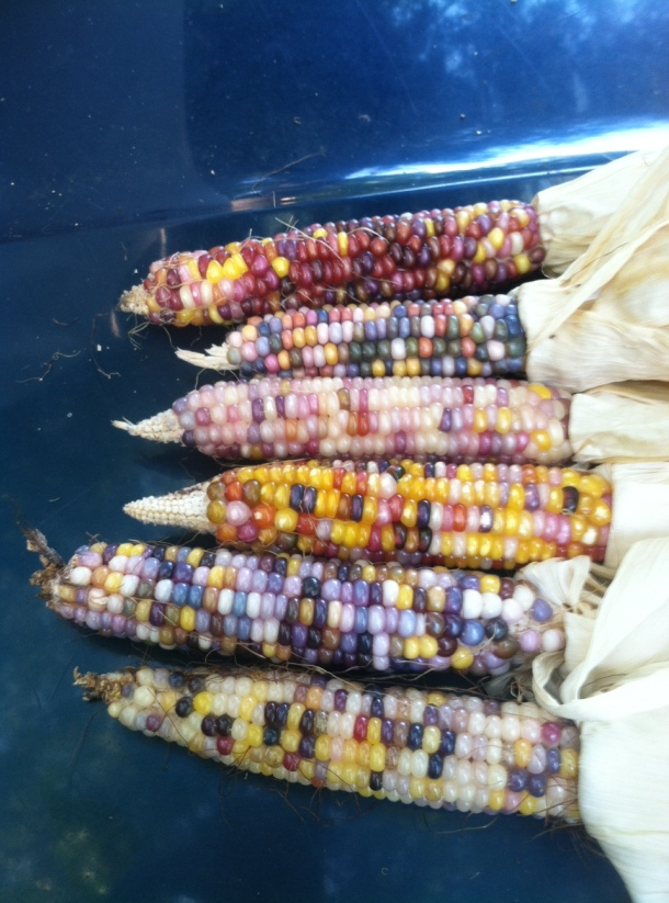 Glass Gem Corn Dallas Garden Buzz